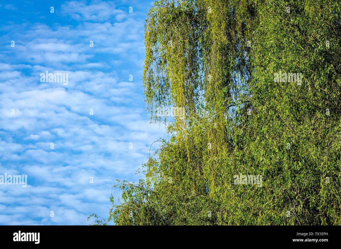Green leaves against the sky with white and fluffy clouds - Stock Image