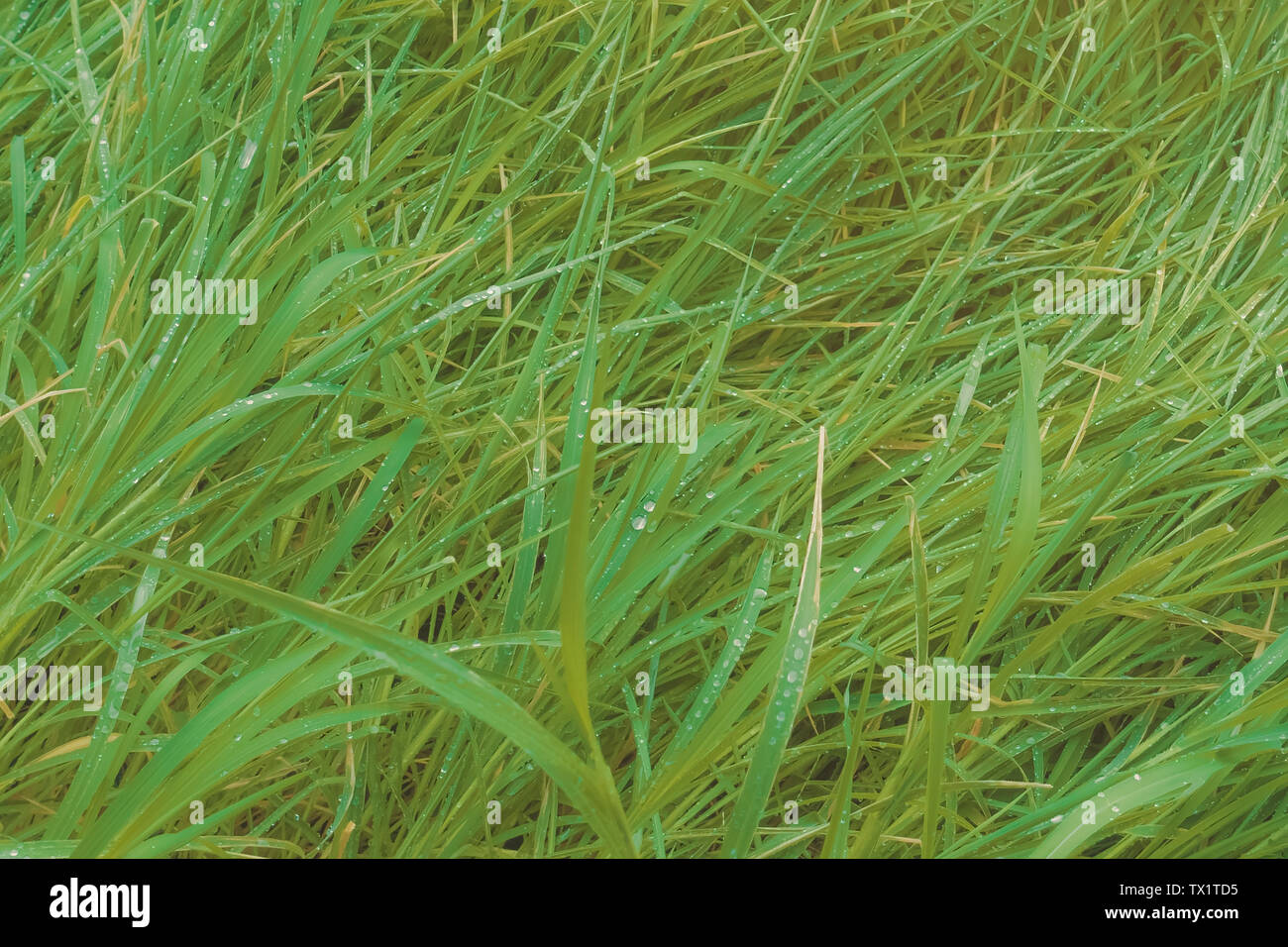 Green grass fell with dew drops after rain - Stock Image