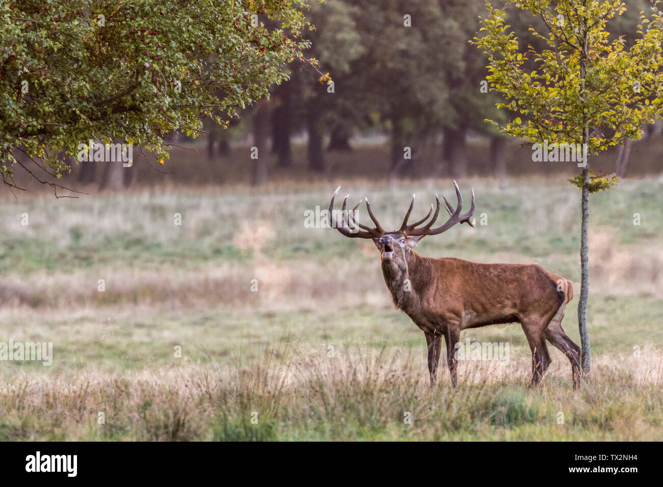 Stag during rutseason, bellowing, looking towards camera, on a field with beech trees, Jaegersborg dyrehaven, Denmark - Stock Image