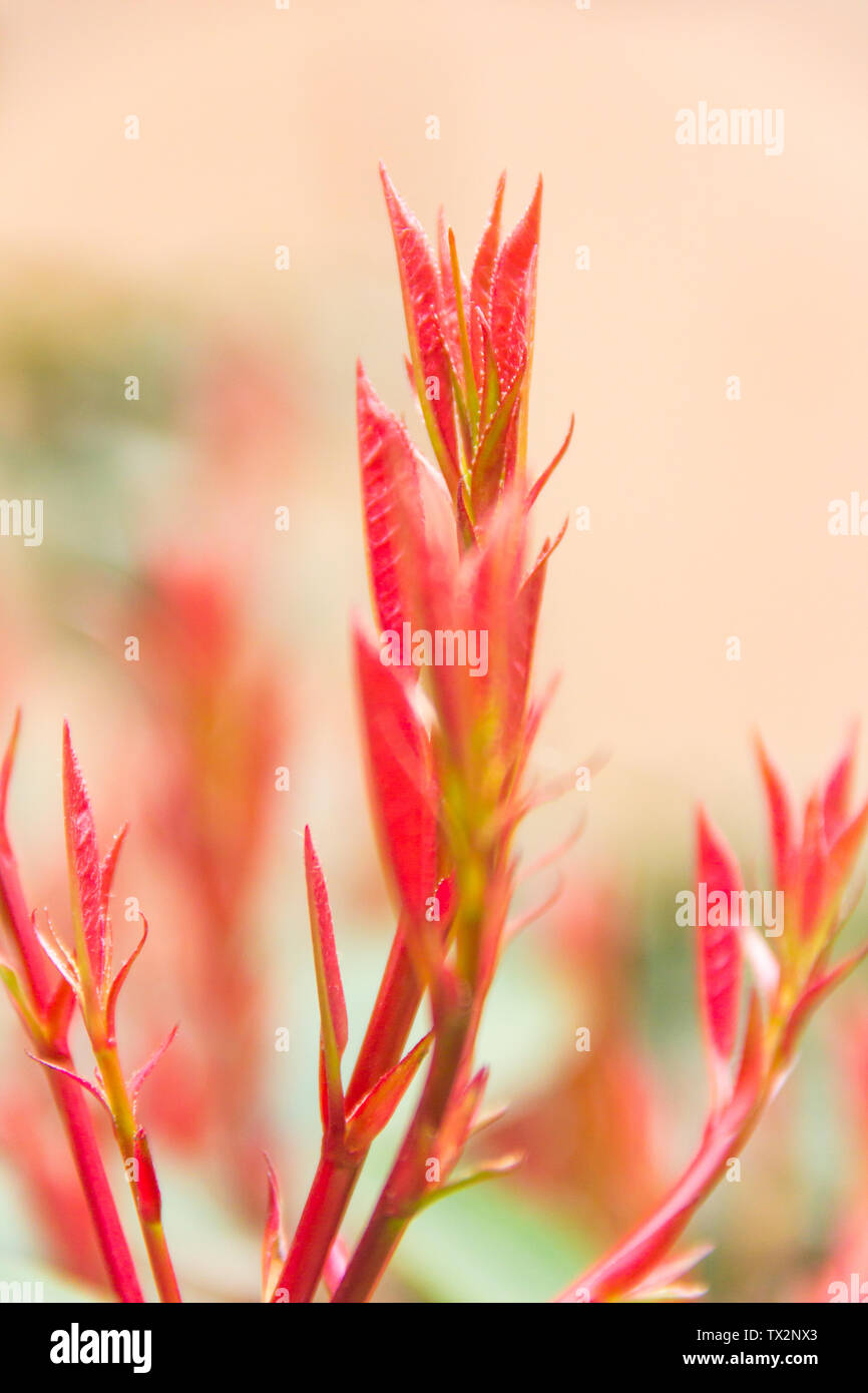 Red leaves, buds in the south of the city. Stock Photo