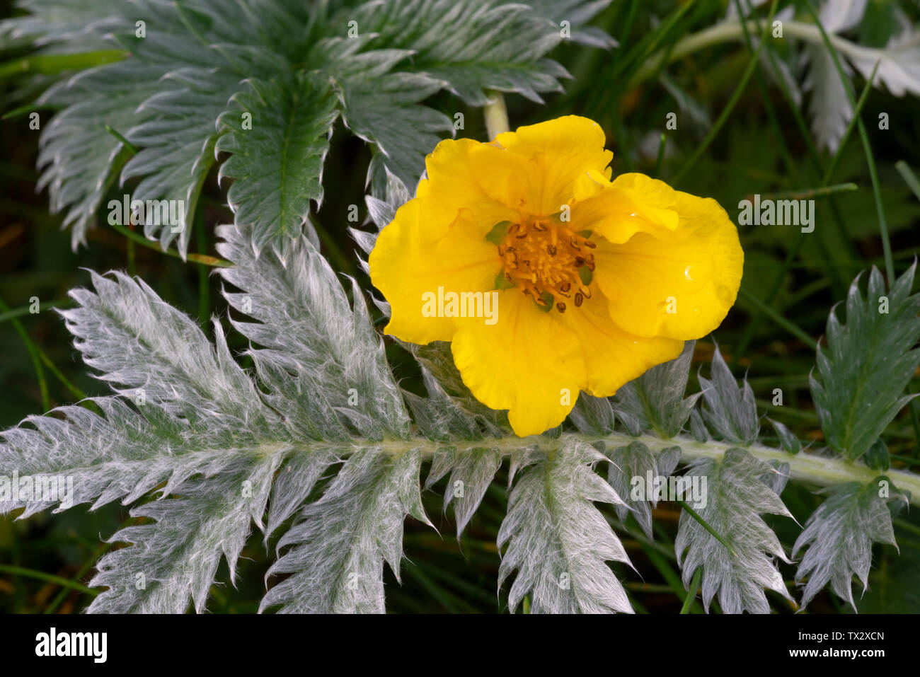 Silverweed (Potentilla anserina), flower and leaf - Stock Image