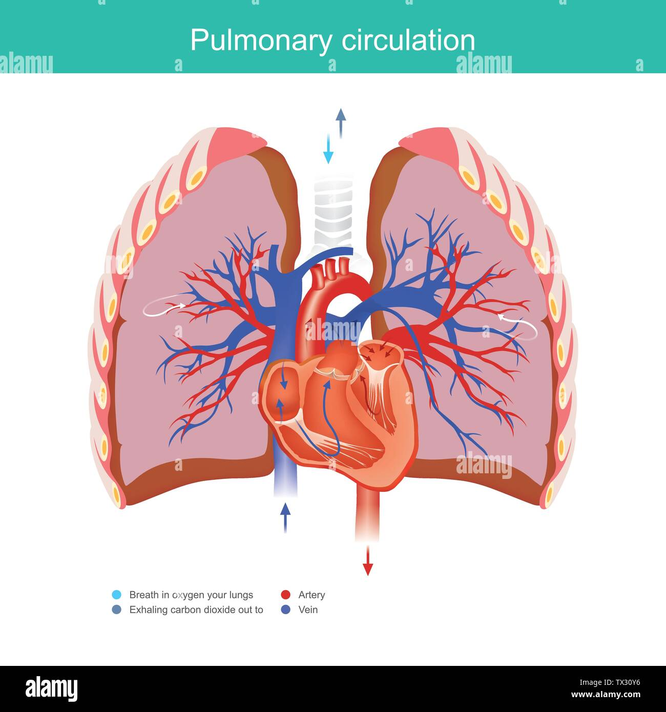 explain working duty for the heart and lungs apply oxygen gas from the  environment into the