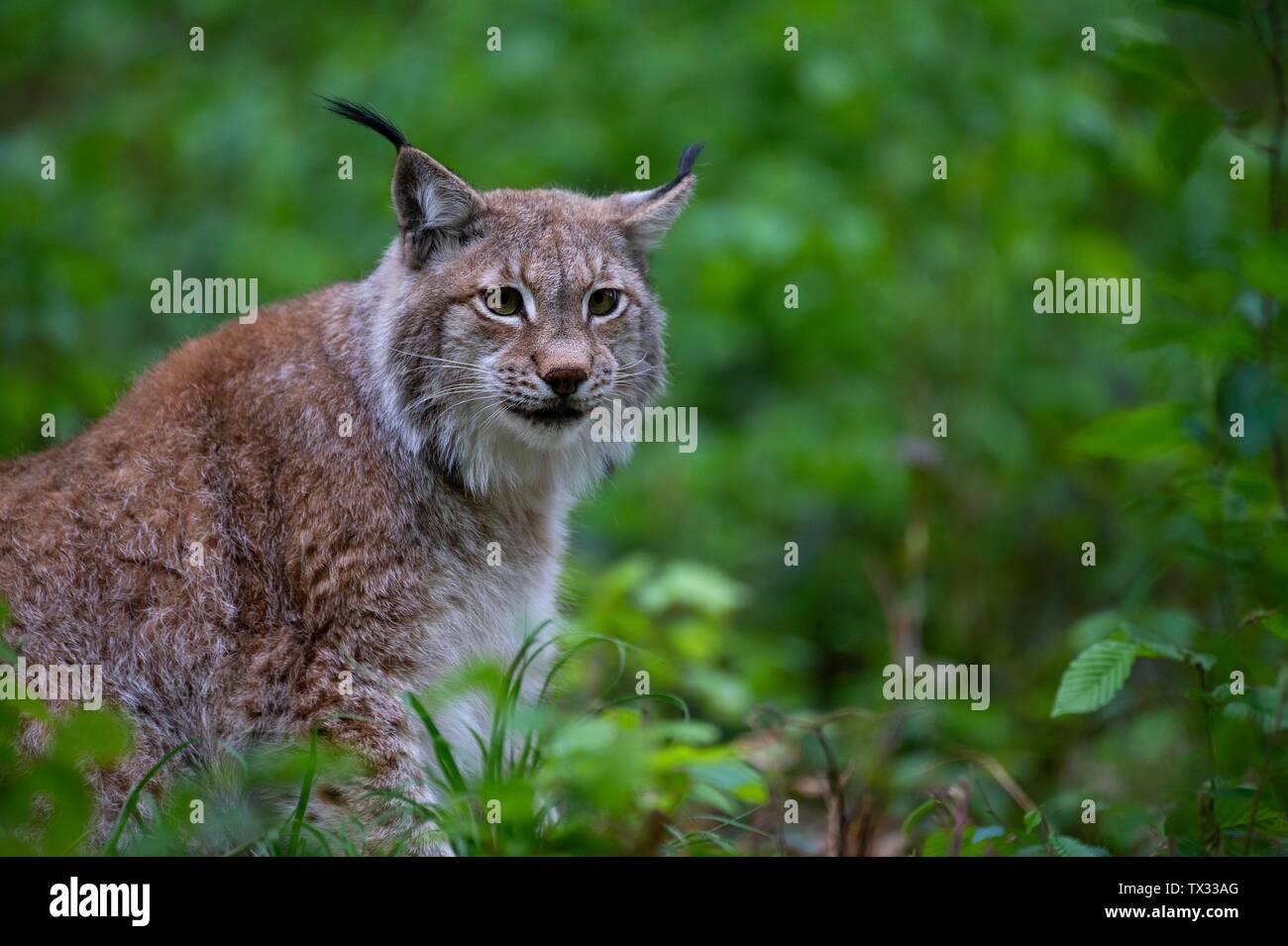 Eurasian lynx (Lynx lynx), sits in forest, Saarland, Germany Stock Photo