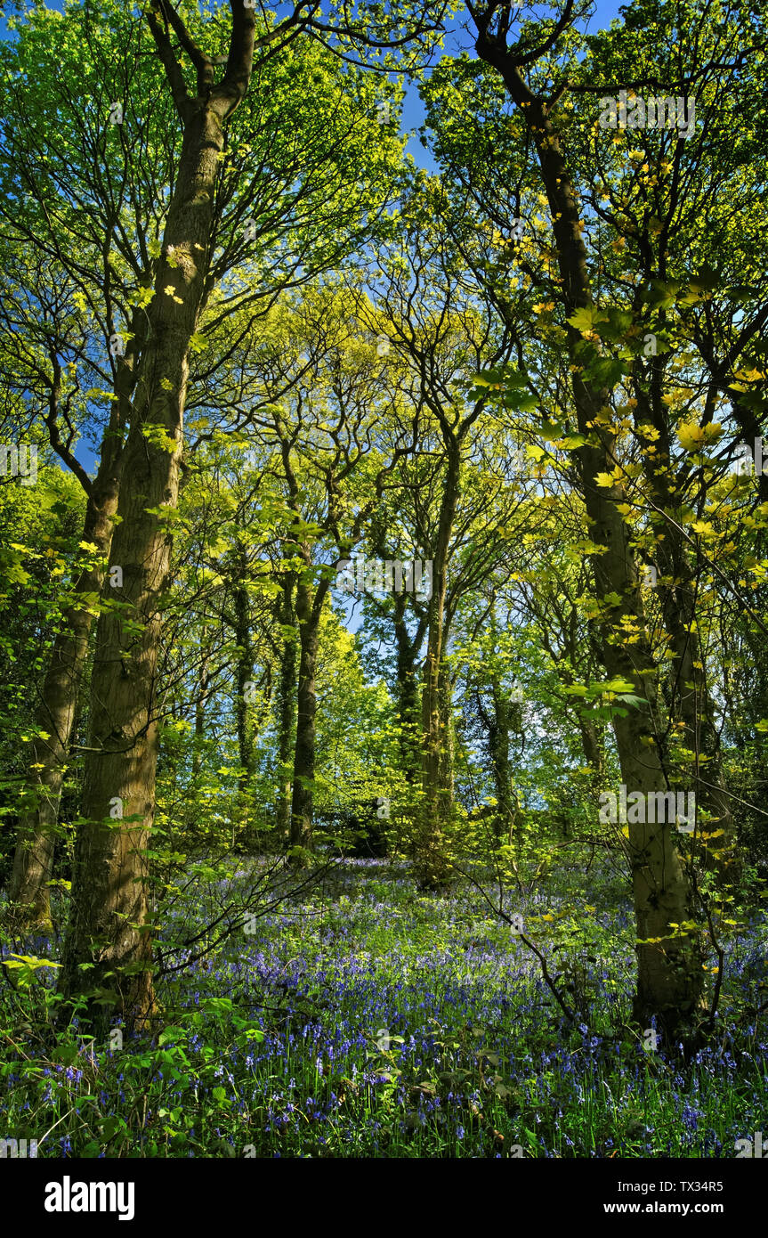 UK,South Yorkshire,Sheffield,Hutcliffe Wood during Spring - Stock Image
