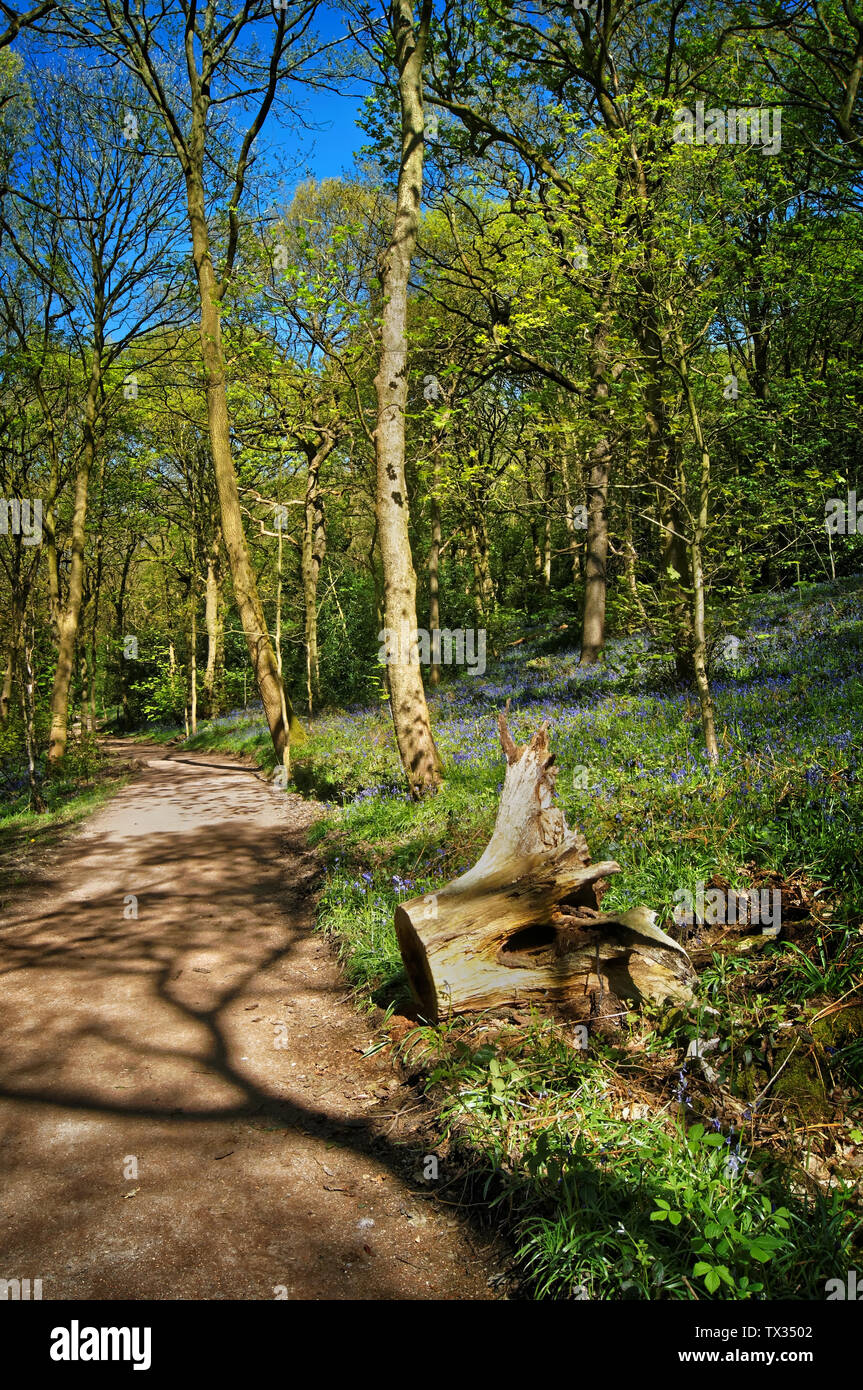 UK,South Yorkshire,Sheffield,Footpath through Hutcliffe Wood during Spring - Stock Image