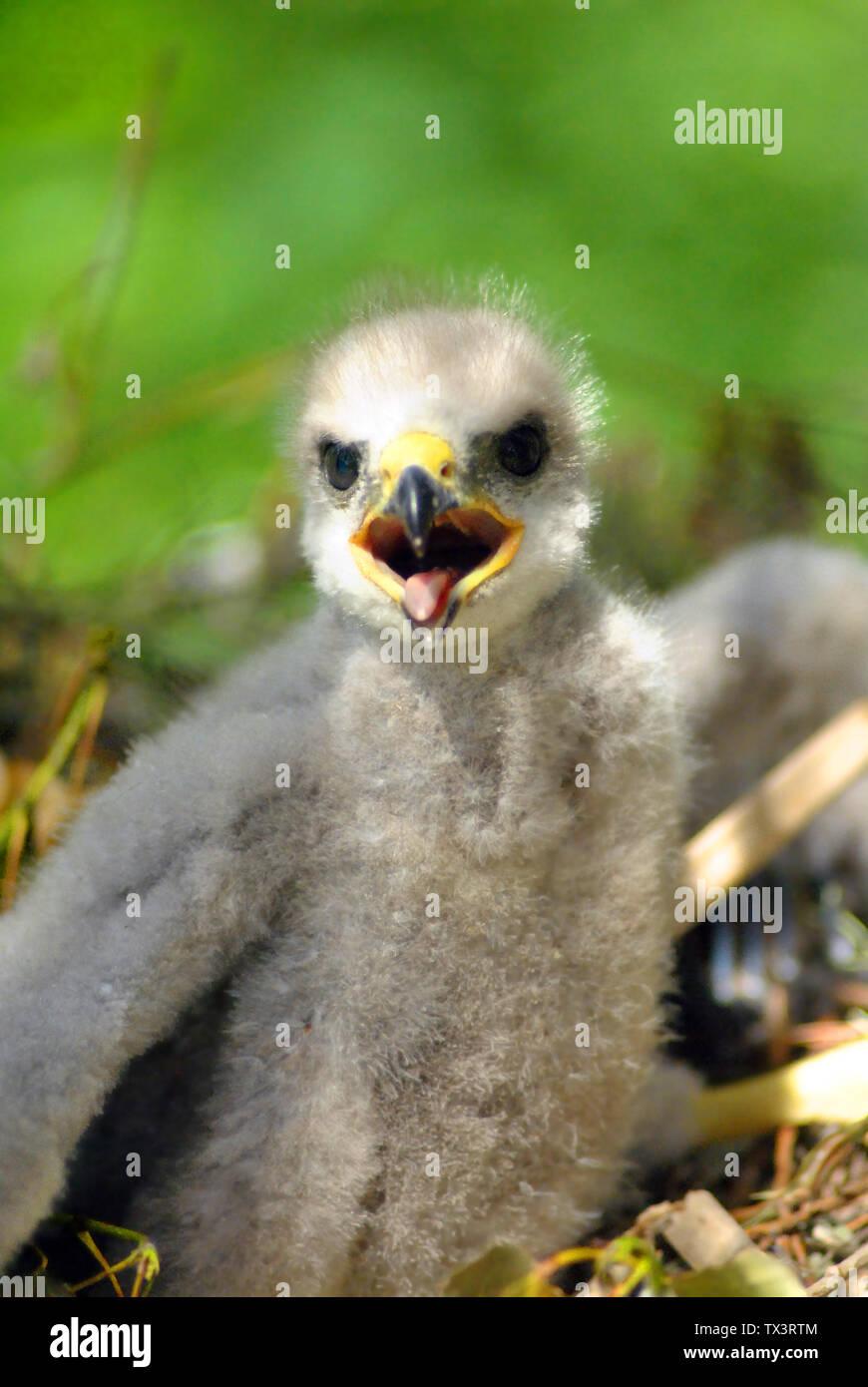 Hatchling the common kestrel (Falco tinnunculus, European kestrel, Eurasian kestrel, Old World kestrel) bird of prey species, falcon family Falconidae - Stock Image