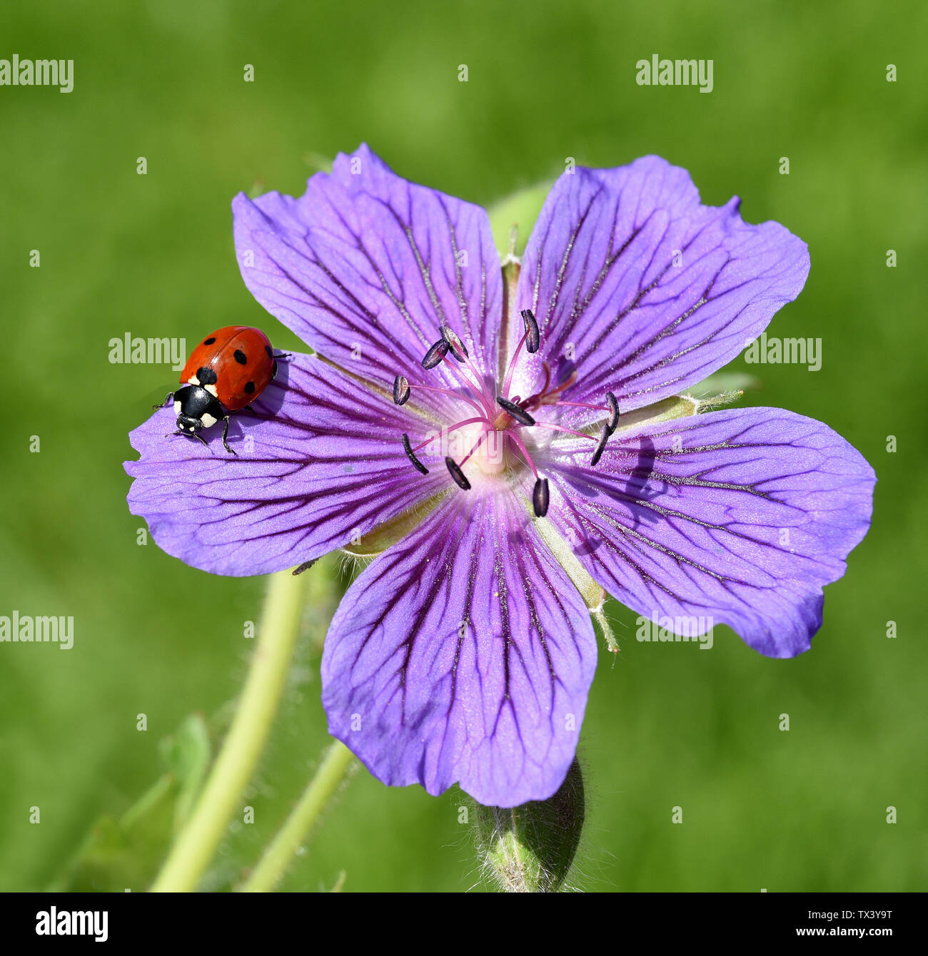 Marienkaefer; Coccinella; semptempunctata - Stock Image