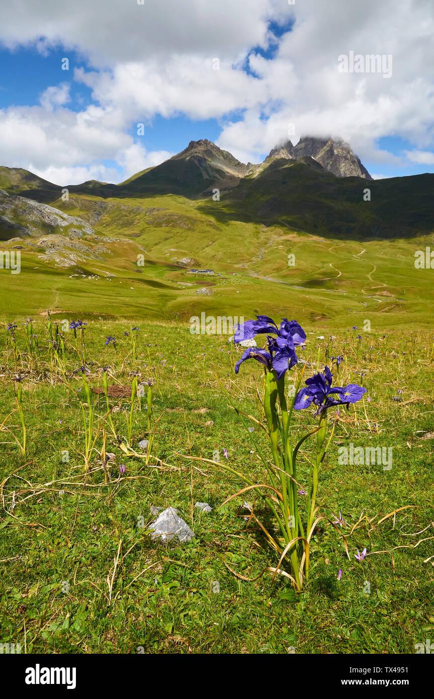 English iris (Iris latifolia) in high mountain pastures with Peyreget and Midi d'Ossau peaks (Col du Pourtalet, Portalet, Laruns, Pyrenees, France) Stock Photo