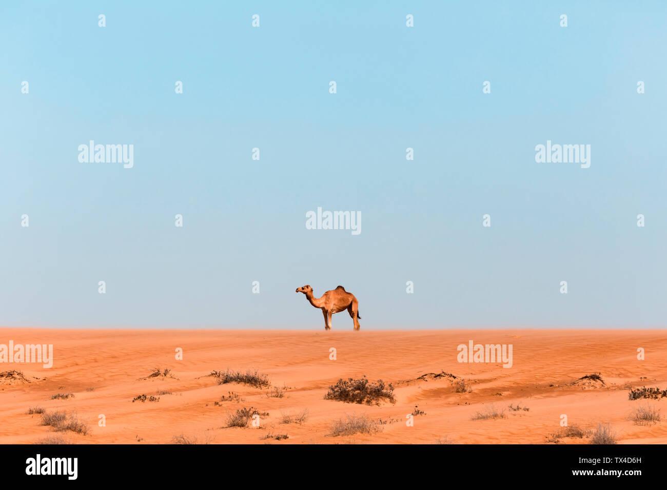 Dromedary in Wahiba sands desert, Oman Stock Photo
