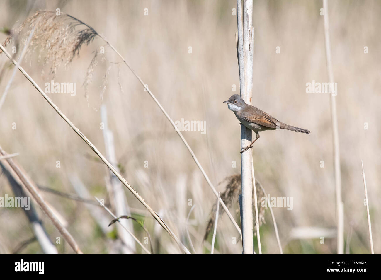 Common Whitethroat bird (Sylvia communis) male - with fluffed feathers perched on dried reed, Norfolk, England, UK - Stock Image