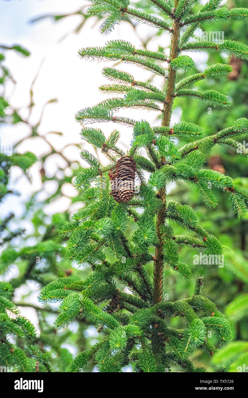 Pine cones hang high up in the tree - Stock Image
