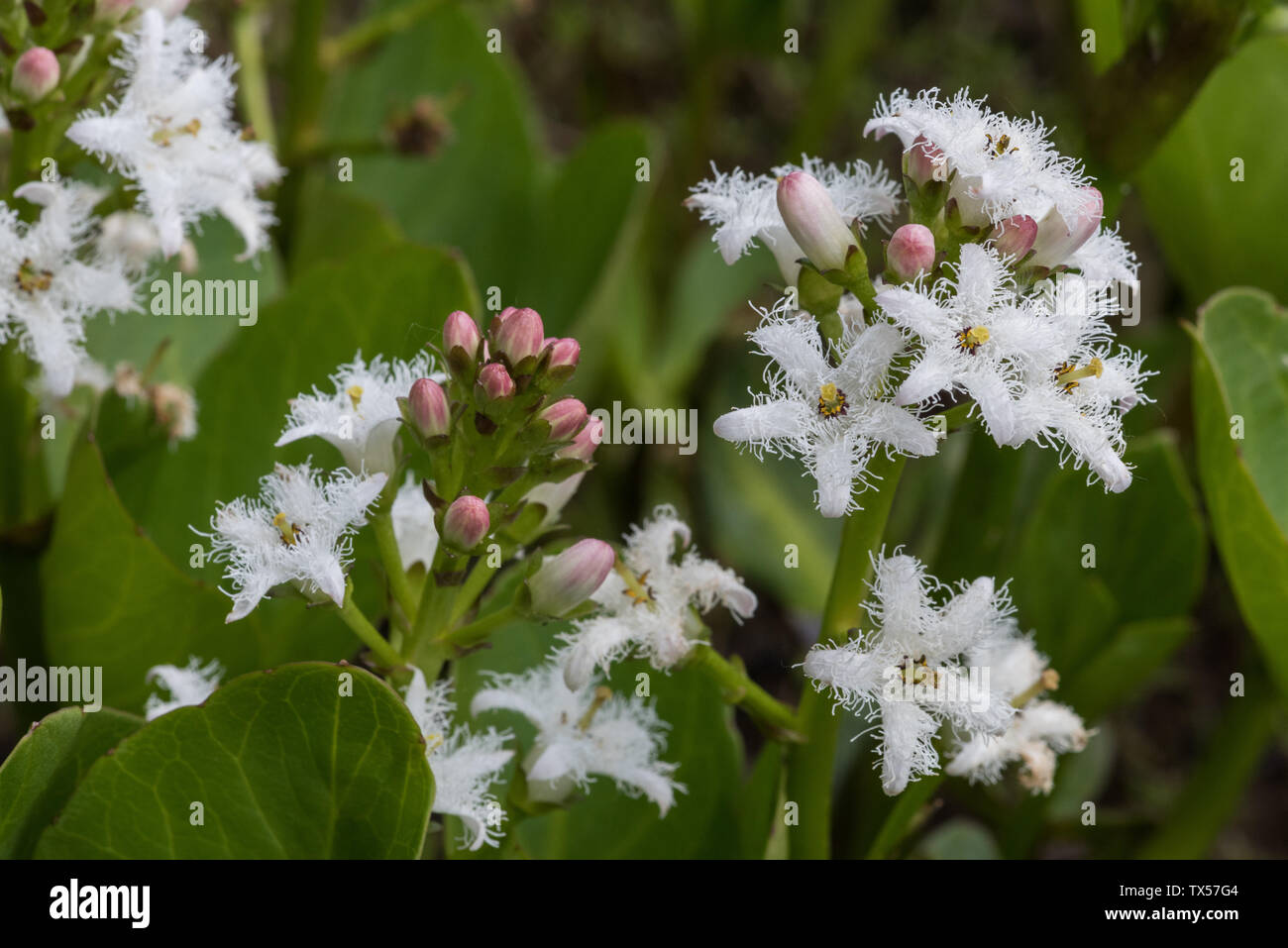 Bogbean Menyanthes trifoliata flowering along the edge of a pond - Stock Image