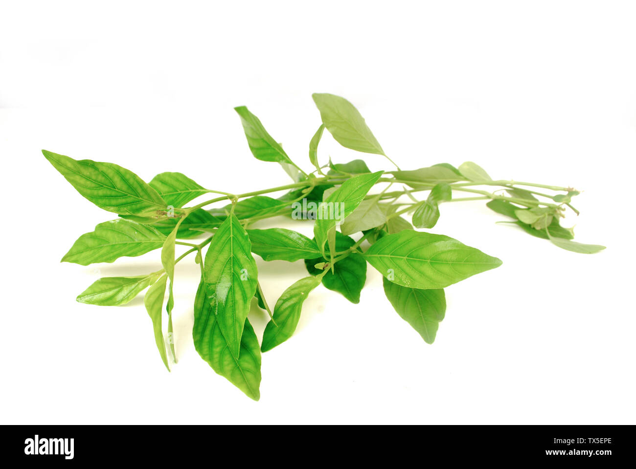 Nasutus Herbal extract. Rhinacanthus nasutus Kurz.Rhinacanthus. - Stock Image
