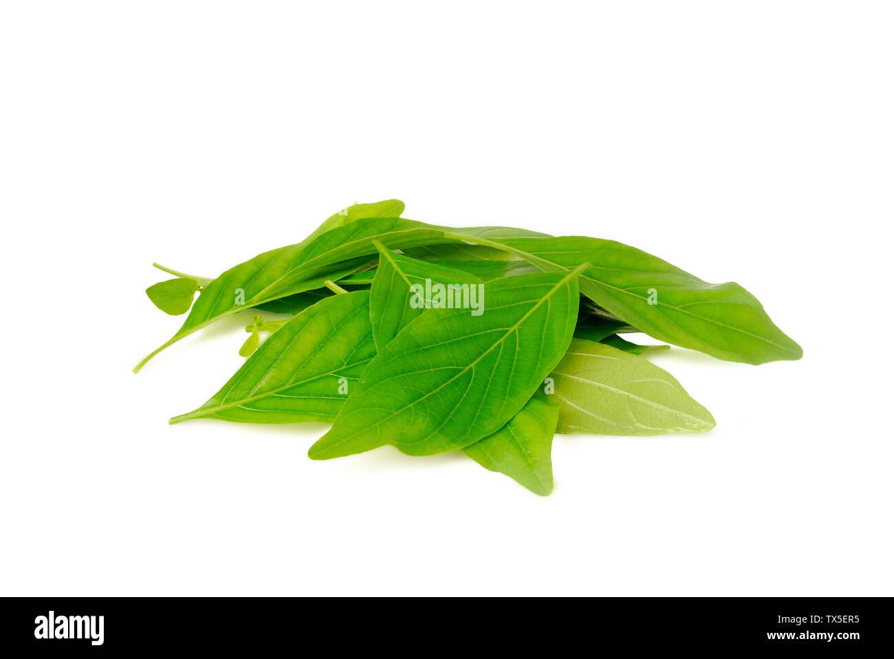 Nasutus Herbal extract. Rhinacanthus nasutus Kurz.Rhinacanthus.With Clipping Path. - Stock Image