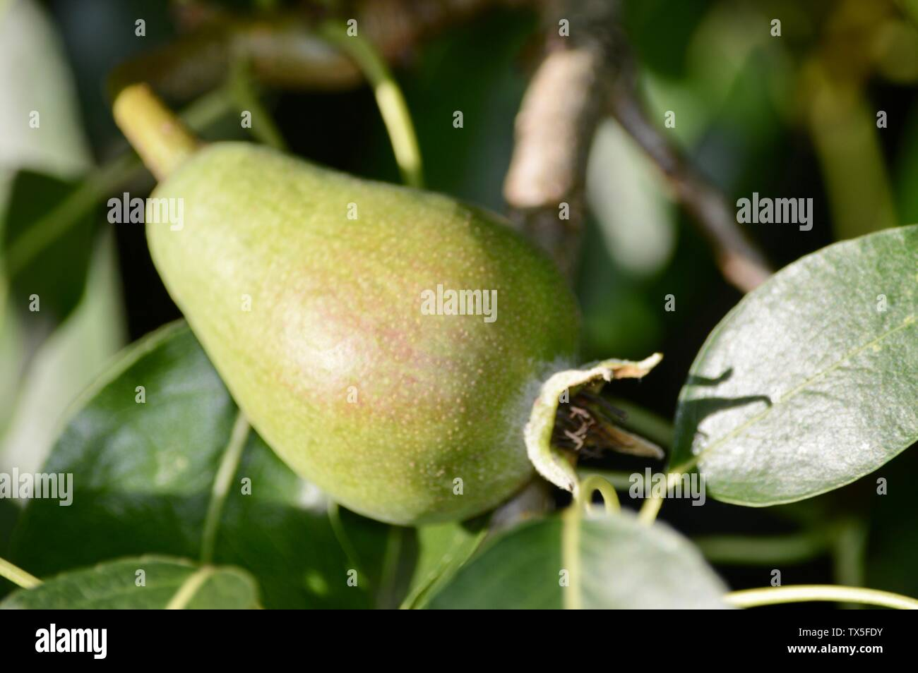 unripe pear growing on its tree Stock Photo