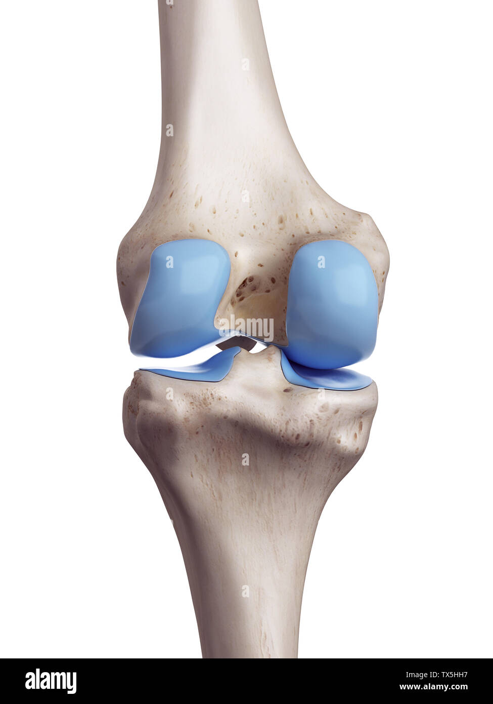 3d rendered, medically accurate illustration of the knee cartilage - Stock Image