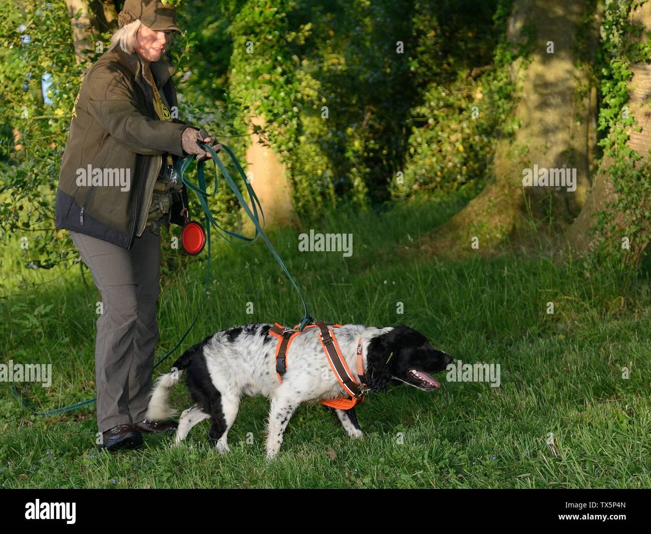 Sniffer dog searching for Hedgehogs (Erinaceus europaeus) hidden in nests, Hartpury University, Gloucestrshire, UK, June. - Stock Image