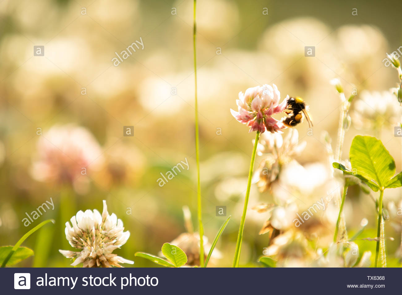 Bumblebee and clover - Stock Image