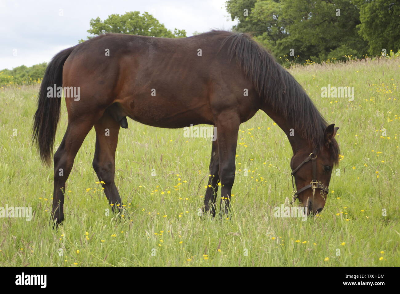 Bay Horse Grazing in Field - Stock Image