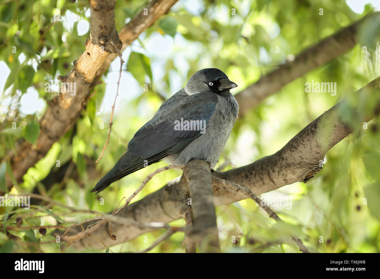 Young Western jackdaw (Corvus monedula) sitting on a branch of a European nettle tree (Celtis australis) and looking curiously to the camera - Stock Image