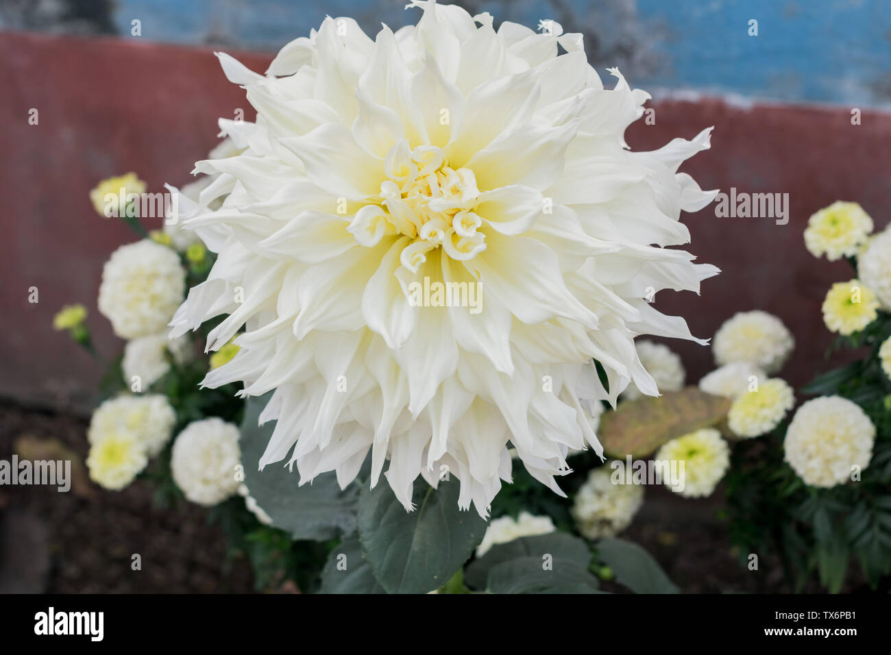 White Guldavari Flower plant, a herbaceous perennial plants. It is a sun loving plant Blooms in early spring to late summer. A very popular flower for - Stock Image