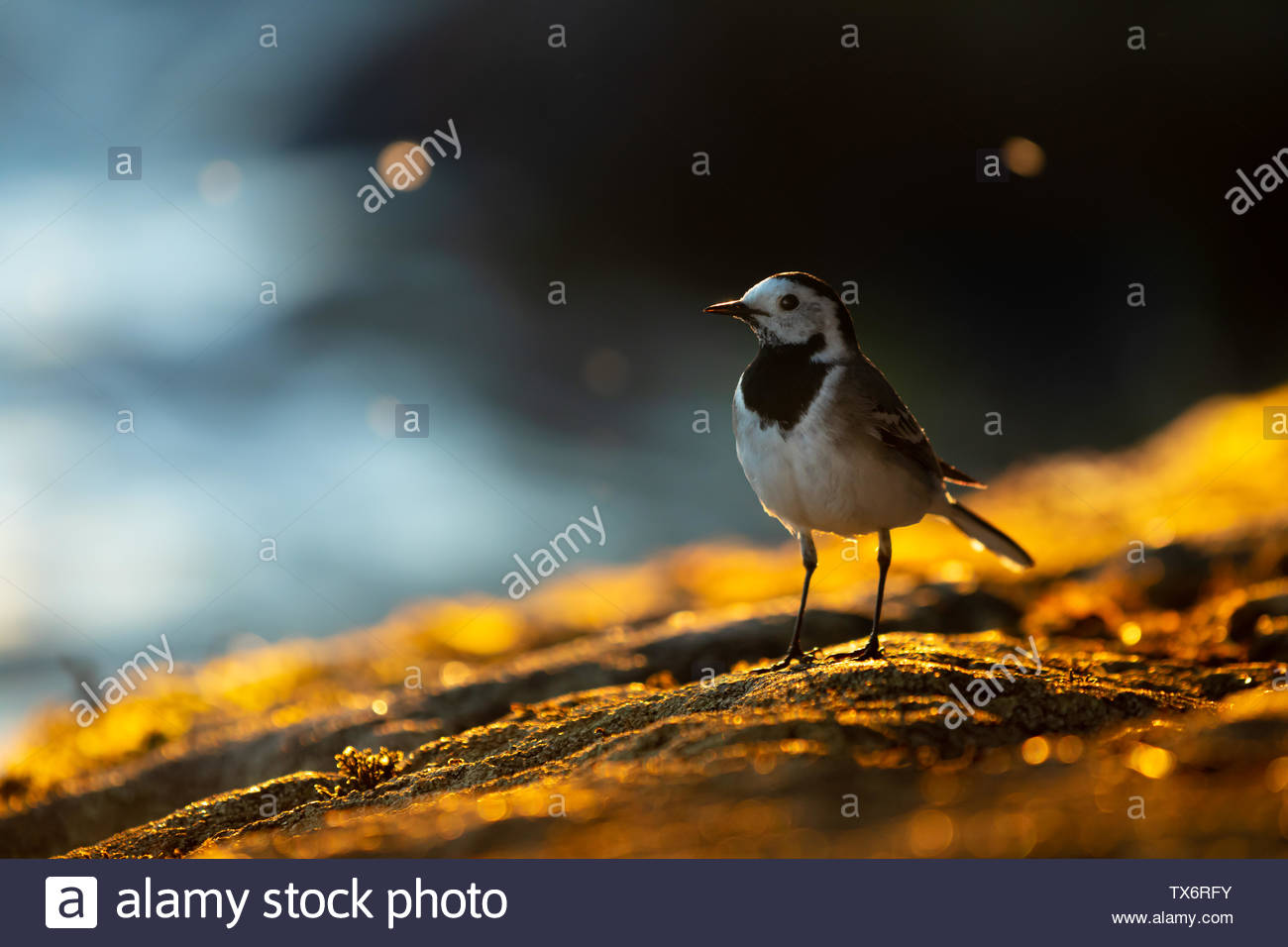 Wagtail and colden light - Stock Image