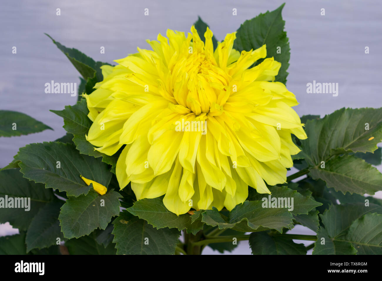 Yellow Guldavari Flower plant, a herbaceous perennial plants. It is a sun loving plant Blooms in early spring to late summer. A very popular flower fo - Stock Image