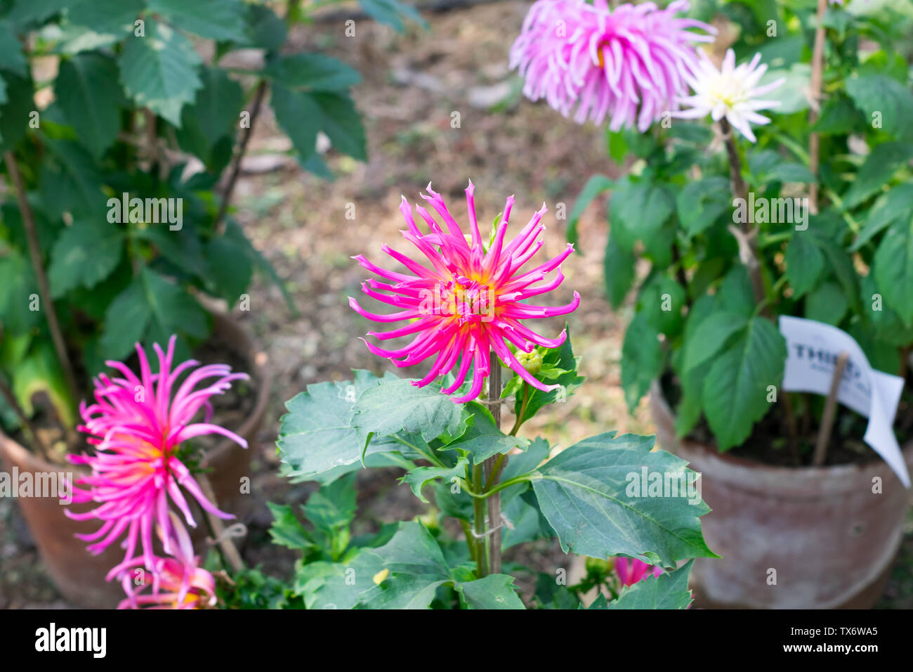Pink color Chives or Allium shape Chrysanthemum flower. A sun loving flora blooms in early spring to late summer. A very popular for bouquets. Its col - Stock Image