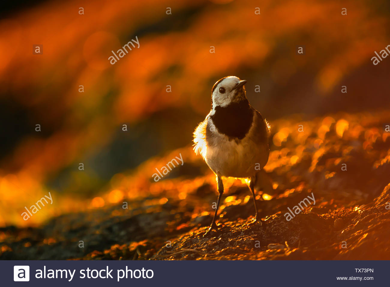 Wagtail - Stock Image