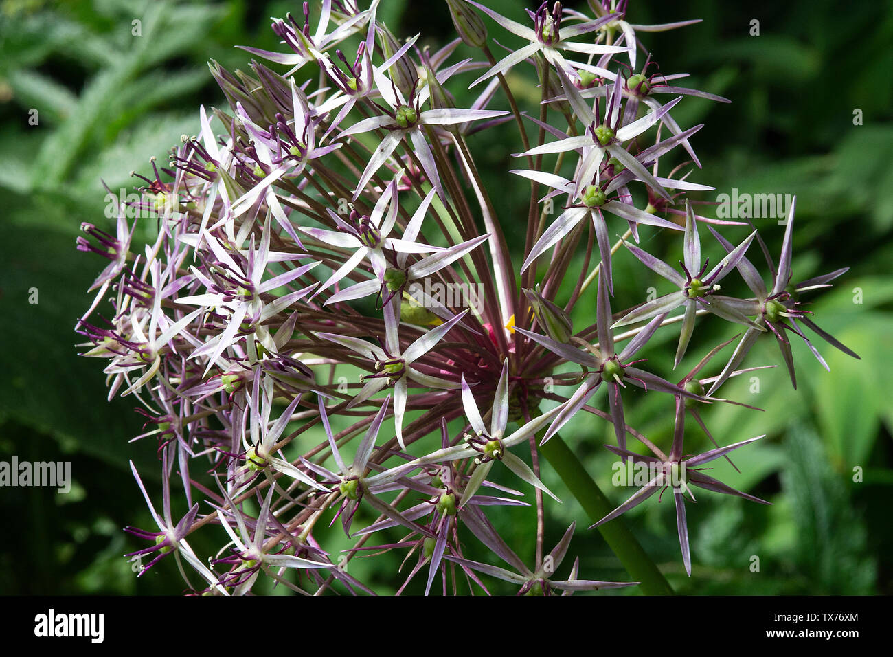 A Beautiful Allium Flower Head Bloom  in Late Flowering with Star Shaped Miniature Heads in a Garden in Alsager Cheshire England United Kingdom UK - Stock Image