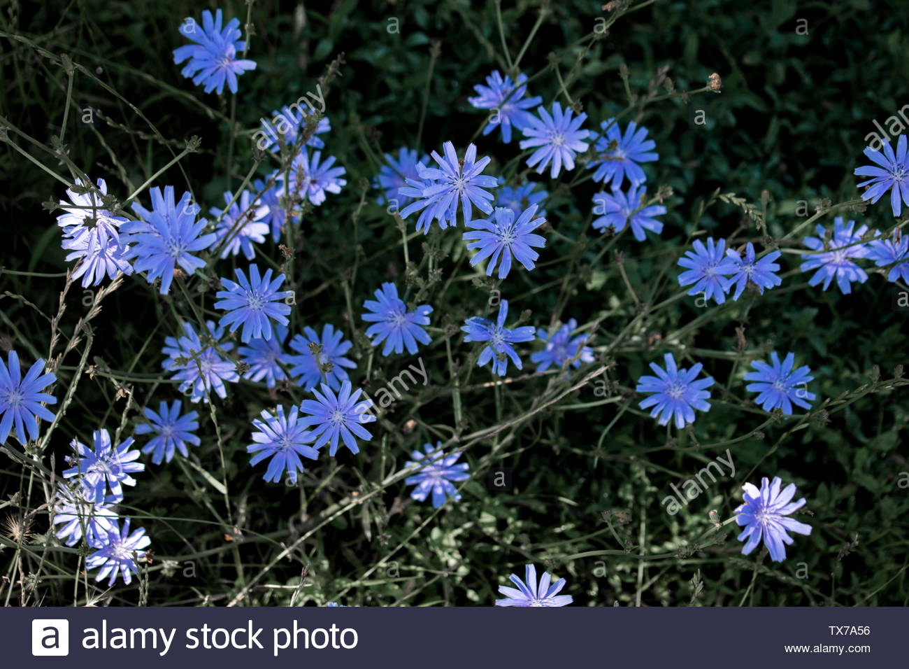 beautiful blue flowers that grow in the summer in Europe. After a rainy day. - Stock Image