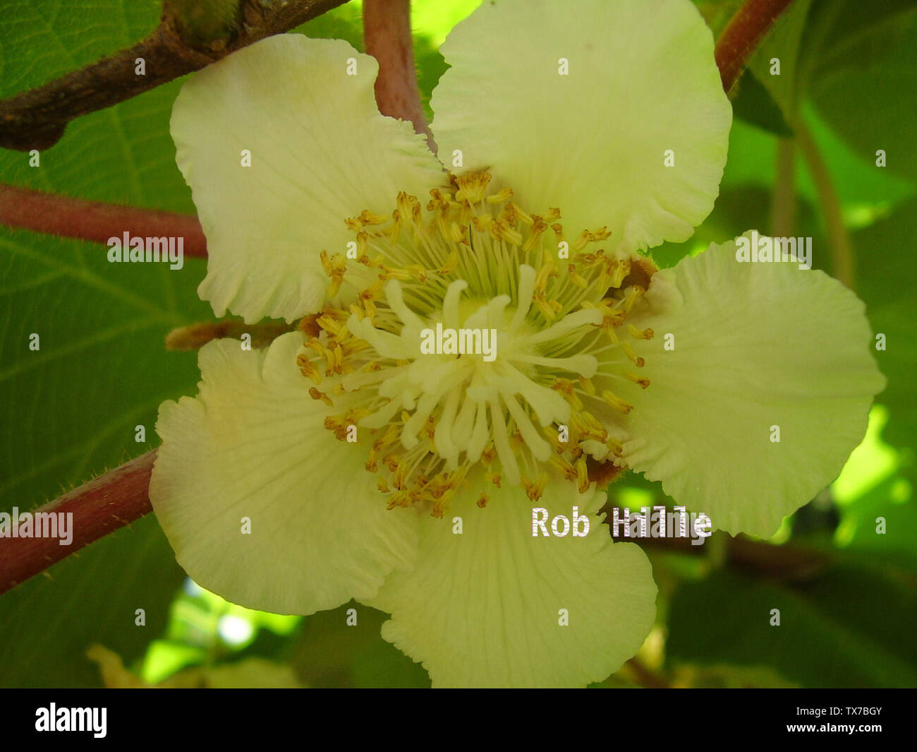 'Nederlands: zelfbestuivende kiwi English: kiwifruit blossom; 22 January 2007; Own work; Rob Hille at Dutch Wikipedia; ' - Stock Image
