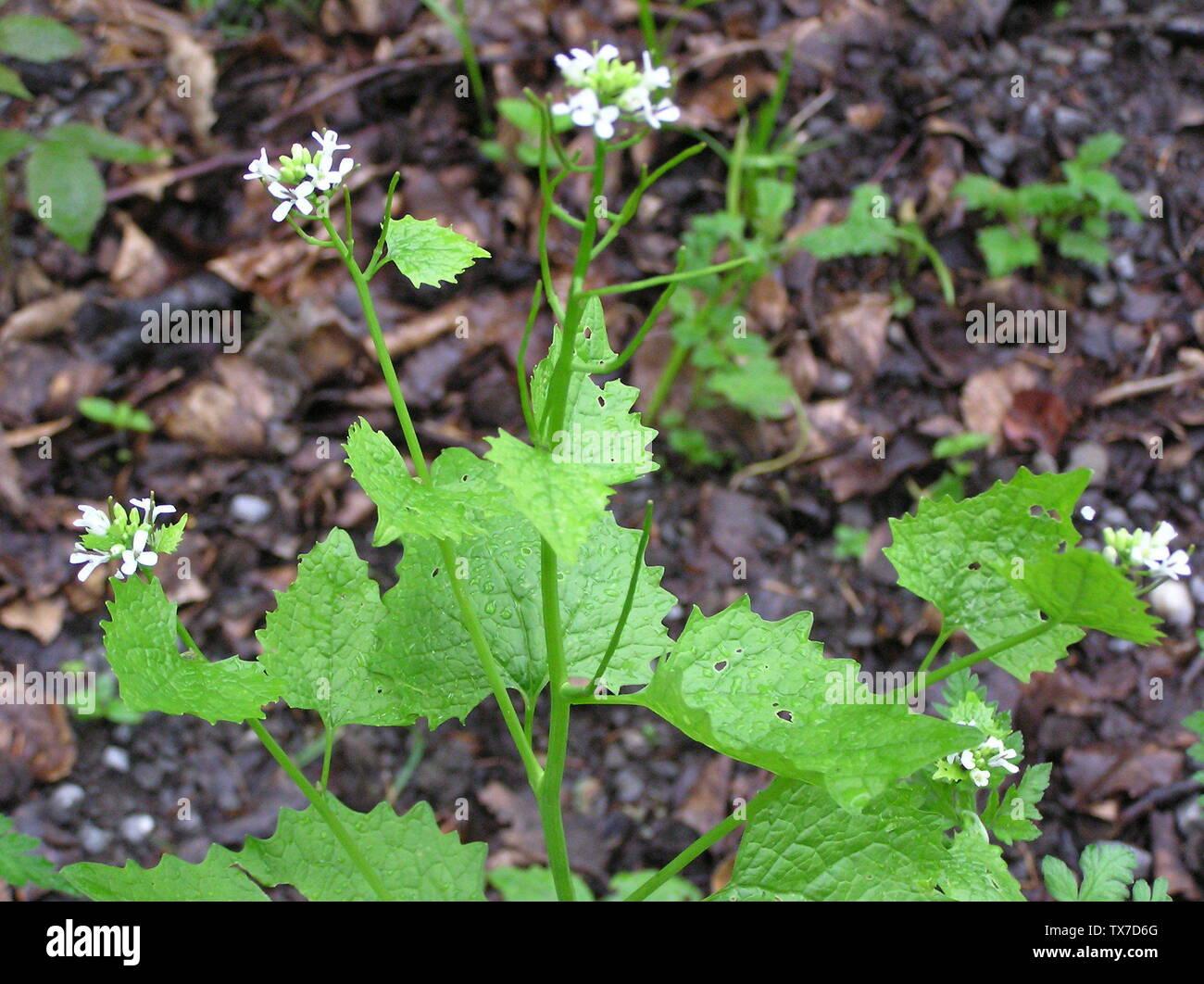 Rauke Knoblauchrauke Alliaria petiolata