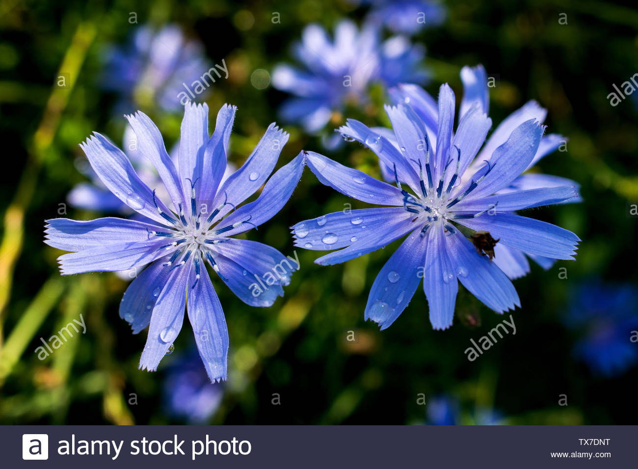 two very beautiful blue flowers that grow in summer on the grasslands. After a rainy day. Invitation, background, ilustration card - Stock Image
