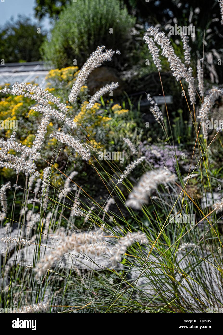 Italy Piedmont Turin Valentino botanical garden - Graminaceae - Melica Ciliata L. Stock Photo