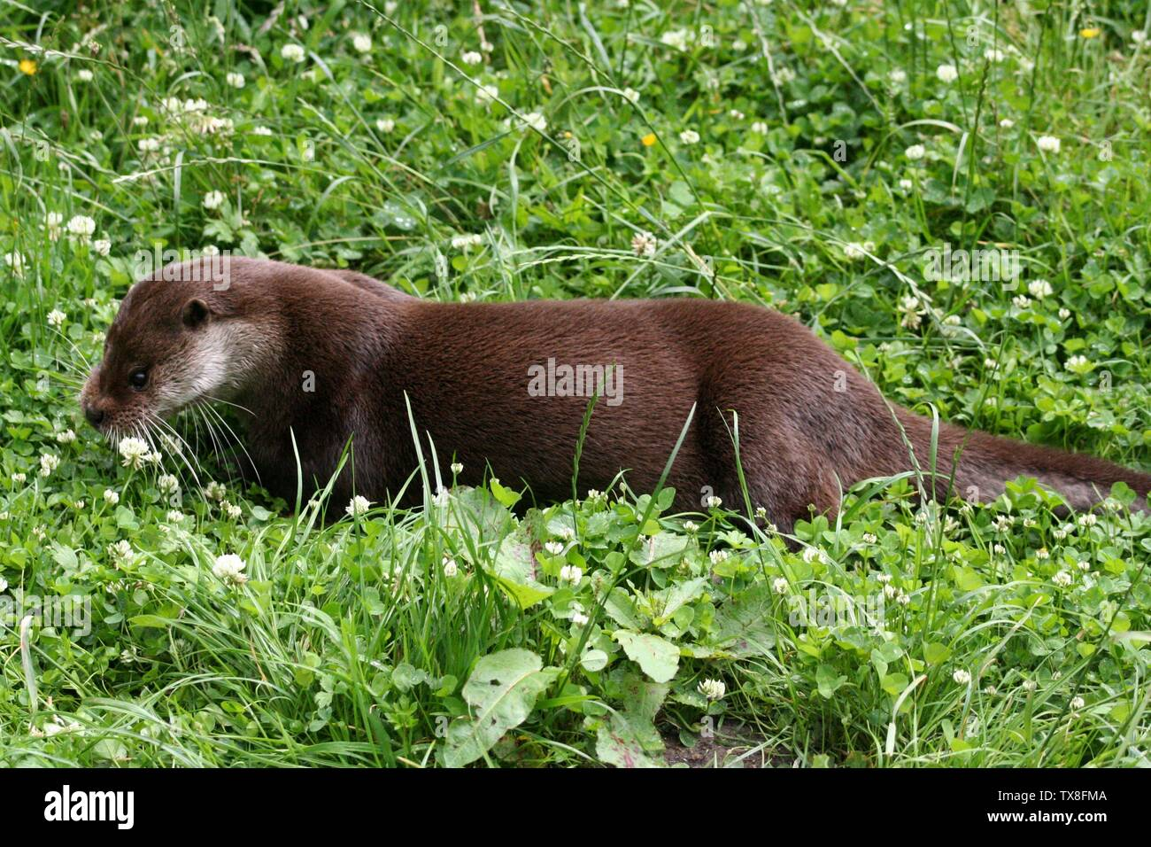 Eurasian otter (Lutra lutra) at the New Forest Otter, Owl and Wildlife Park (Hampshire, England).; 26 June 2007; Own work; Dave Pape; Stock Photo