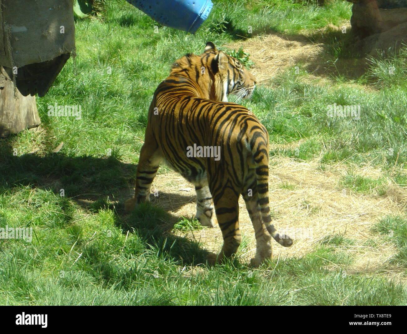 tiger zoophilia The Mirror