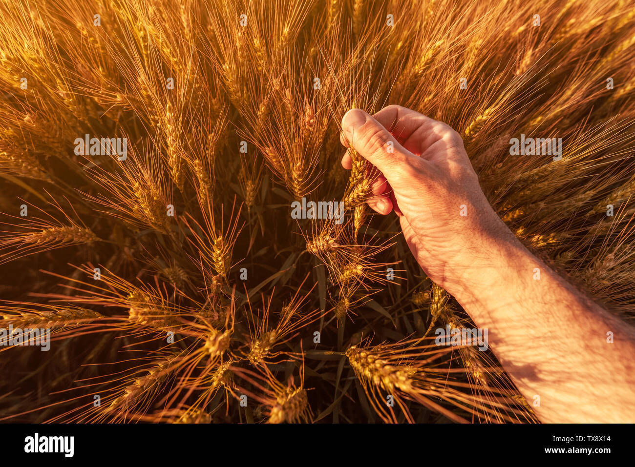 Agronomist farmer is inspecting ripening ears of wheat in field in warm summer sunset. Farm worker analyzing development of cereal crops, close up of Stock Photo