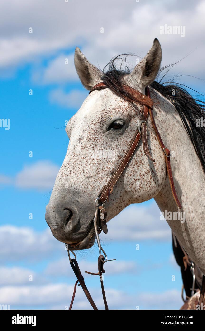Portrait of Appaloosa horse (Equus caballus), South Dakota, USA - Stock Image