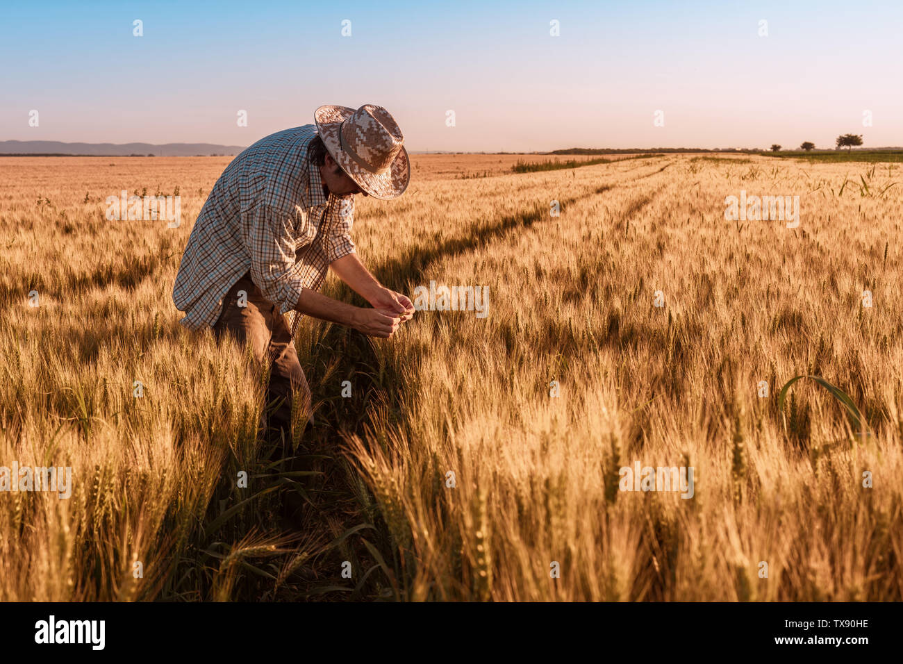 Agronomist farmer is inspecting ripening ears of wheat in field in warm summer sunset. Farm worker analyzing development of cereal crops. Stock Photo