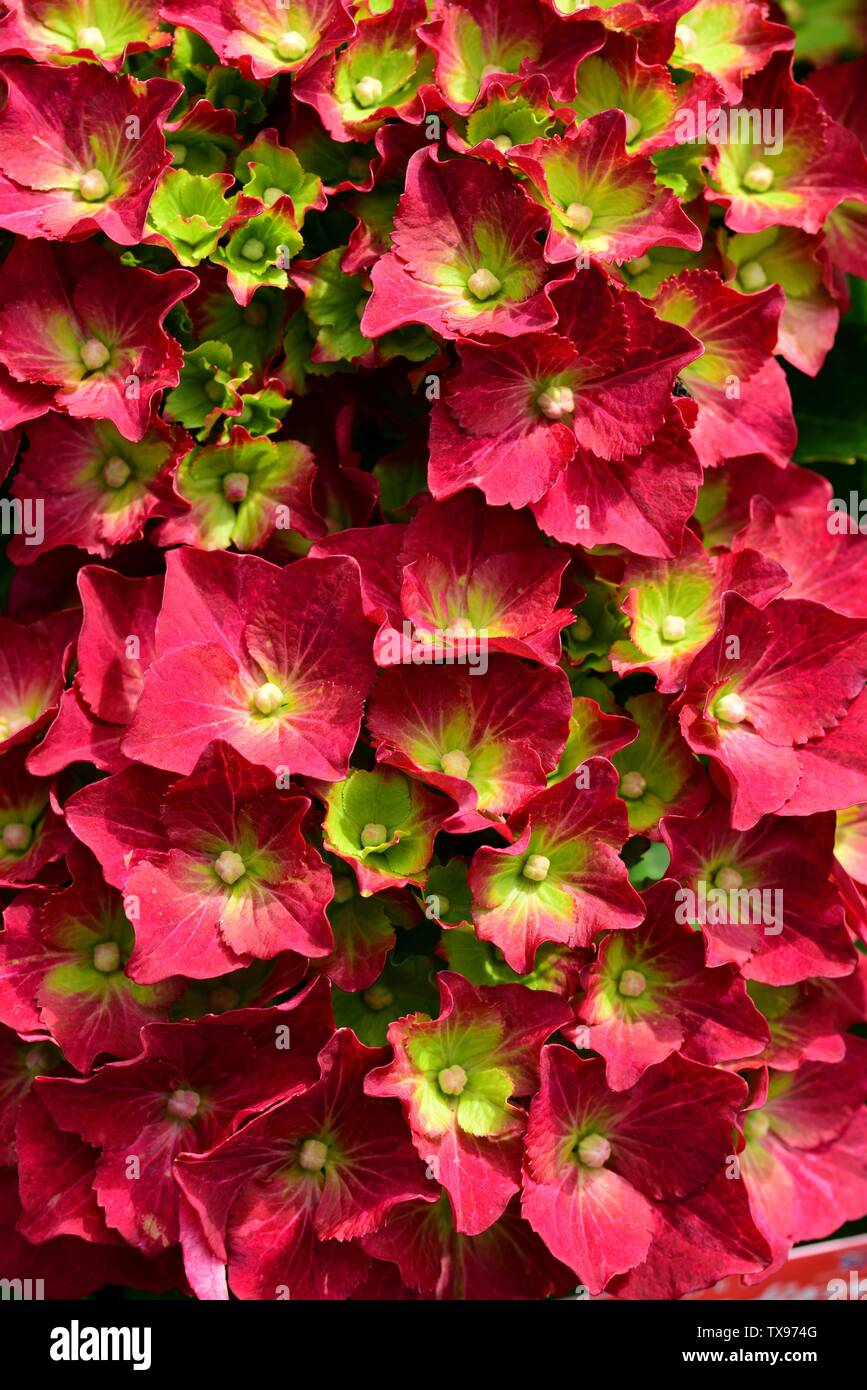 Closeup of the vibrant flowers of Hydrangea Red Mop. - Stock Image