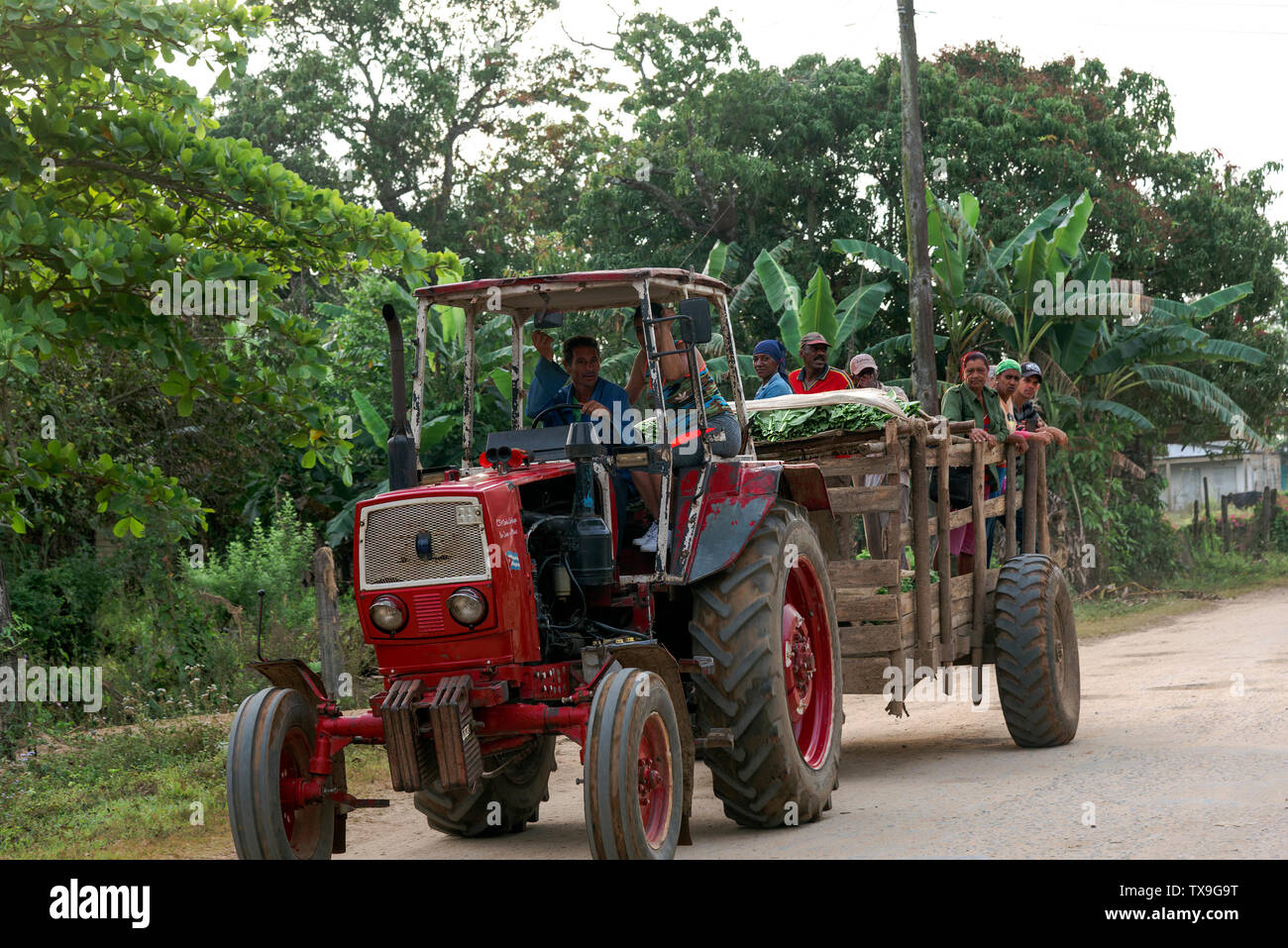 Tobacco workers being transported in a trailer after a days work picking leaves in the tobacco fields San Juan y Martinez,Pinar del Rio Province,Cuba - Stock Image