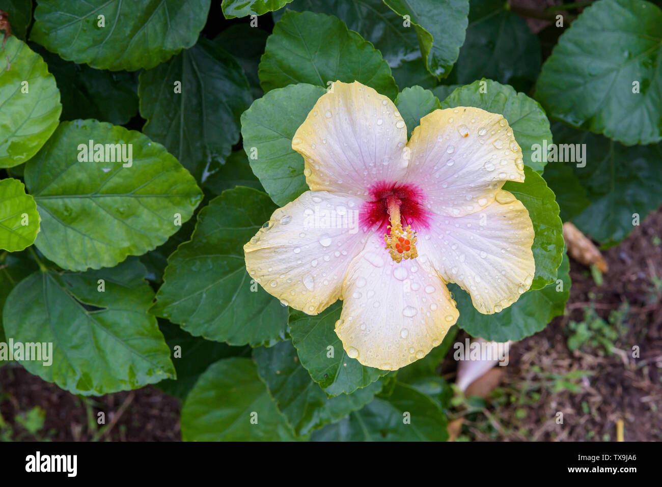 Wet hibiscus flower among green leaves as floral natural background Stock Photo