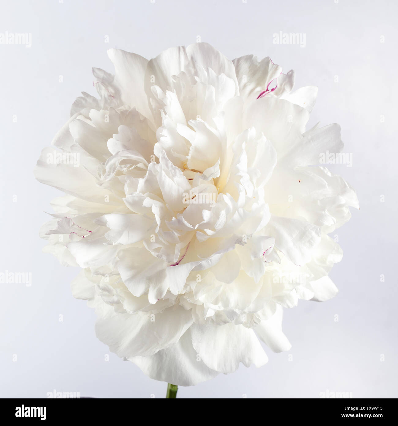 One white peony flower on a gray background. Close-up, selective focus Stock Photo