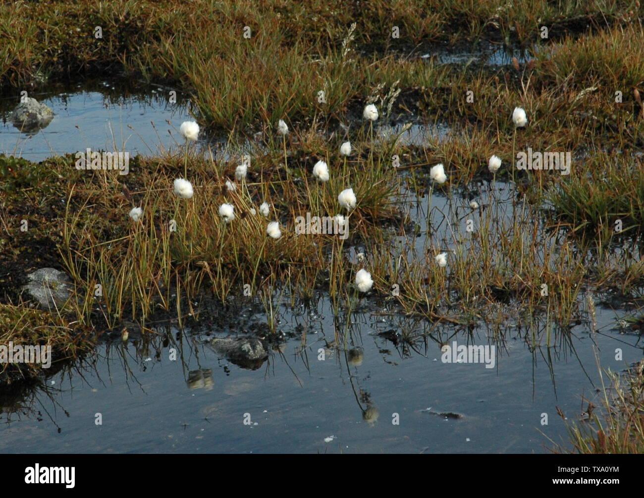 'Snøull (Eriophorum scheuchzeri Hoppe), halvgrasfamilien (Cyperaceae), These plants were found at Valdresflya, Norway at aprox. 1400 metres above sea level, september 2005.; 2005; Own work; Kjetil Lenes; ' - Stock Image