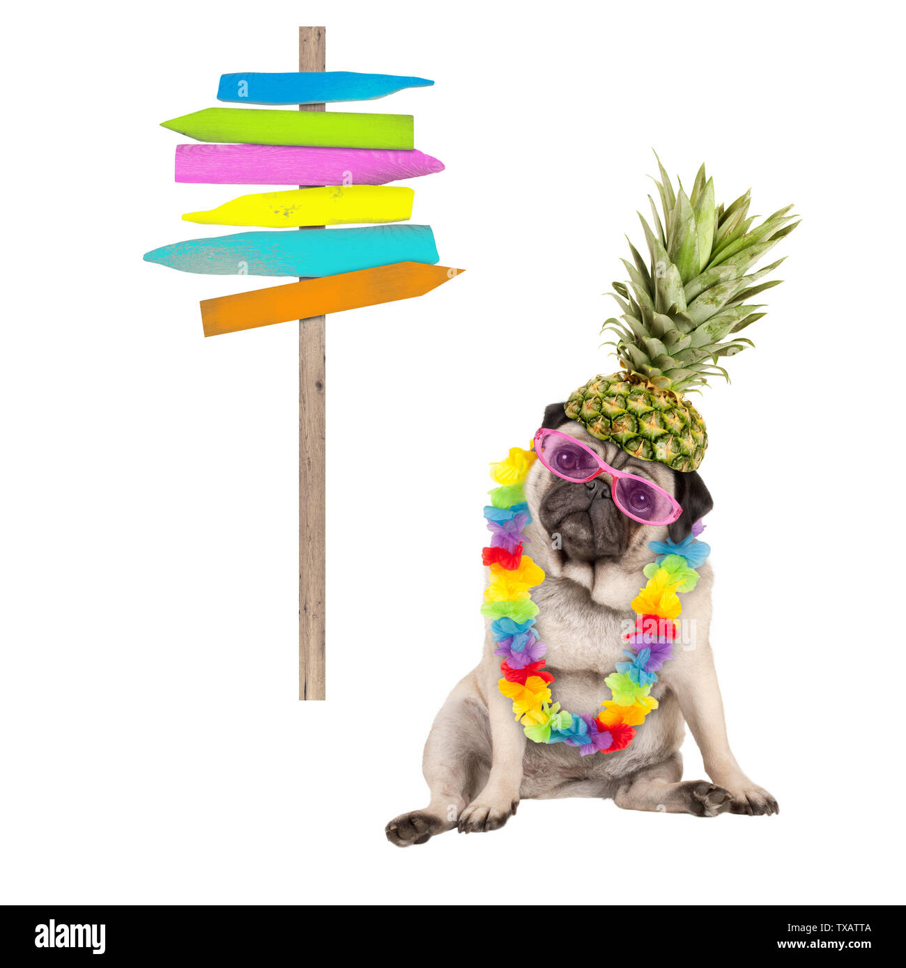 summer pug dog sitting down with colorful hawaiian flower garland, pink sunglasses and pineapple hat, next to wooden beach sign post on pole, isolated Stock Photo