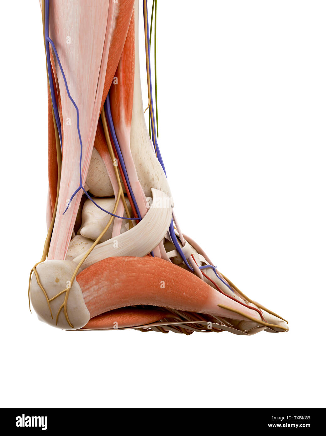 74b4148ba005 3d rendered medically accurate illustration of the human foot anatomy -  Stock Image