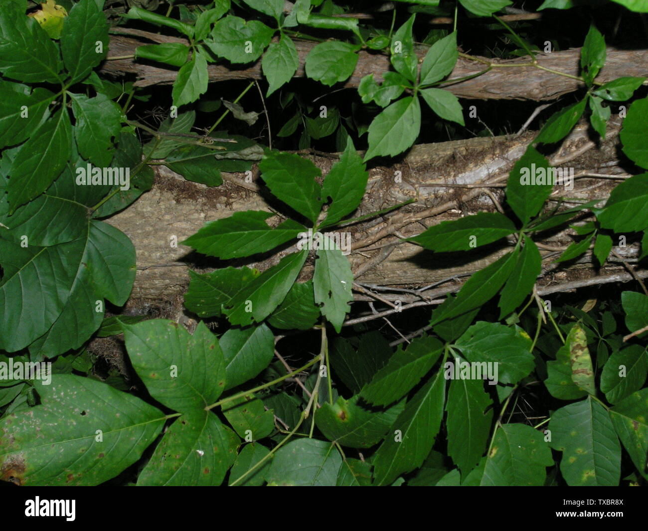 'I took this picture of poison ivy, grape, and virginia creeper.  The grape vine in on the left and has rough bark.  The poison ivy vine is gowing on the trunk of the tree and is hairy.  Both of these vines are very large, about 4-5cm in diameter.  The virginia creeper vine in this picture is very thin and is growing on the other two vines.  Virginia creeper is the 5 leaved plant in the image.  Poison ivy leaves are visible in the bottom right of the image.; Own work by the original uploader; Jvlietstra; ' - Stock Image