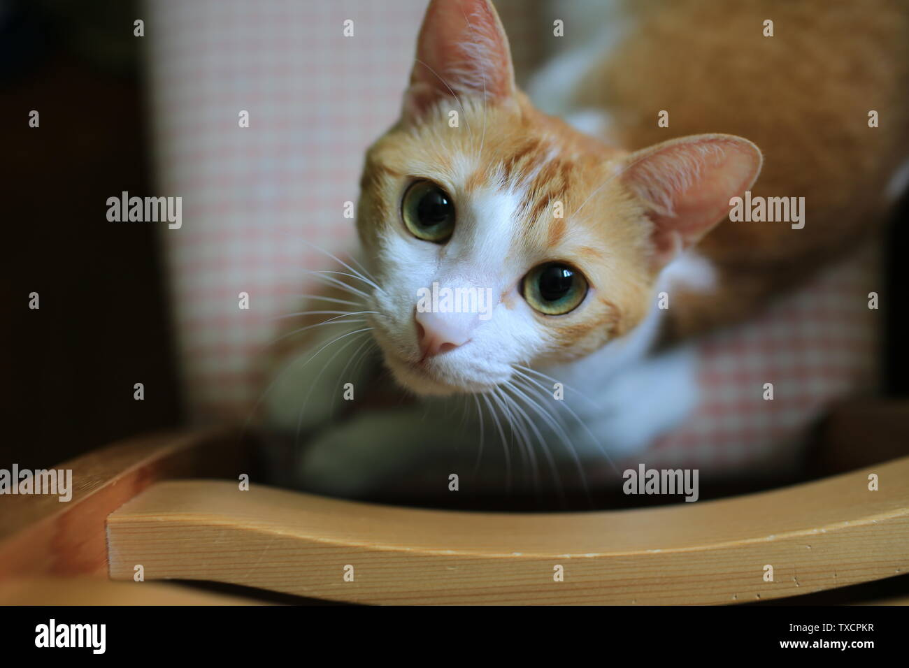 domestic ginger cat - Stock Image