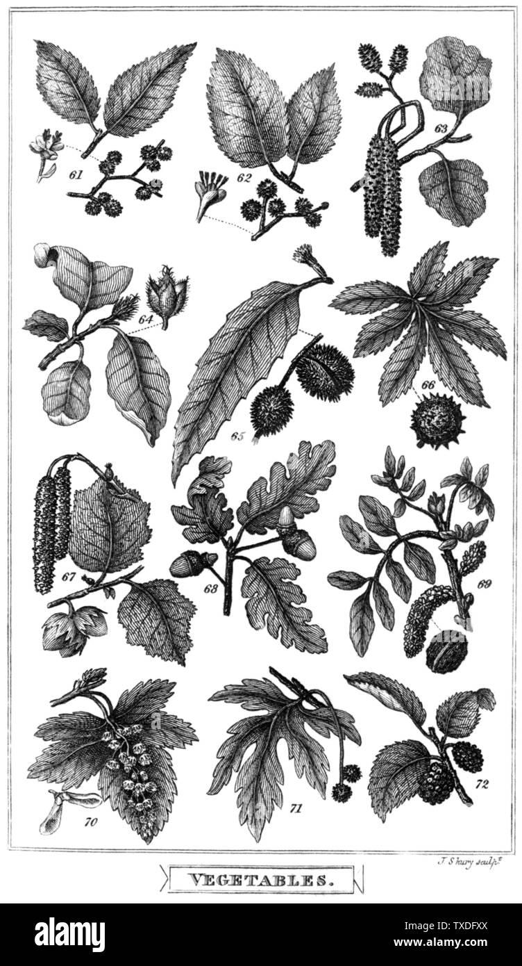 'PLATE VI  61. Common elm, as Ulmus campestris (modern Ulmus minor) 62. Broad-leaved elm, as Ulmus montana (modern Ulmus glabra) 63. Alder, as Betula alnus (modern Alnus glutinosa) 64. Beech-tree, Fagus sylvatica 65. Sweet chesnut, as Fagus castanea (modern Castanea sativa) 66. Horse chesnut, Æsculus hippocastanum 67. Hazel, Corylus avellana 68. Oak, Quercus robur 69. Walnut-tree, Juglans regia 70. Sycamore, Acer pseudoplatanus 71. Plane-tree, Platanus orientalis 72. Mulberry-tree, Morus nigra; 1825; Useful Knowledge: or a Familiar Account of the Various Productions of Nature, Mineral, Vegetab - Stock Image
